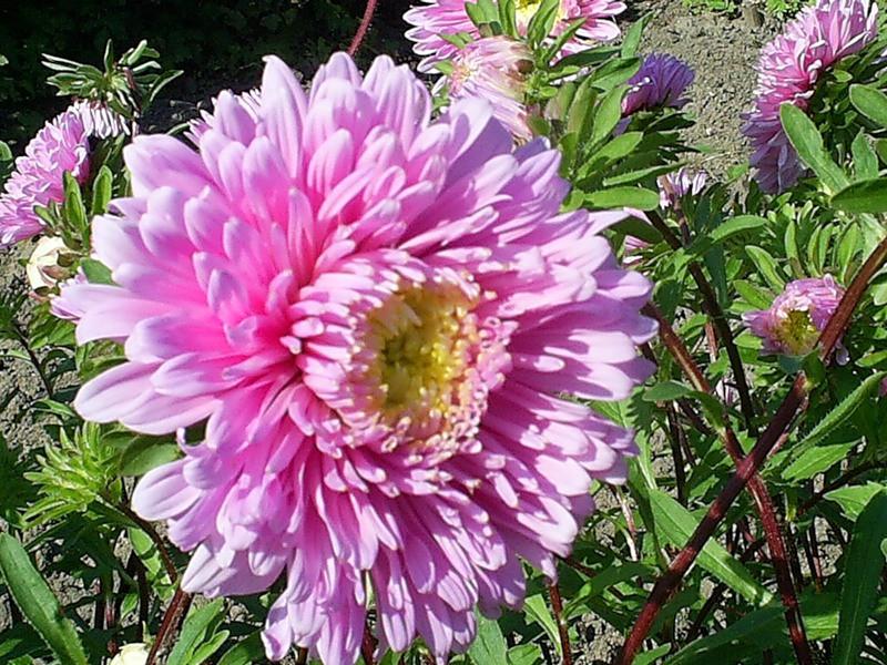 Фото рассады цветов астр 85