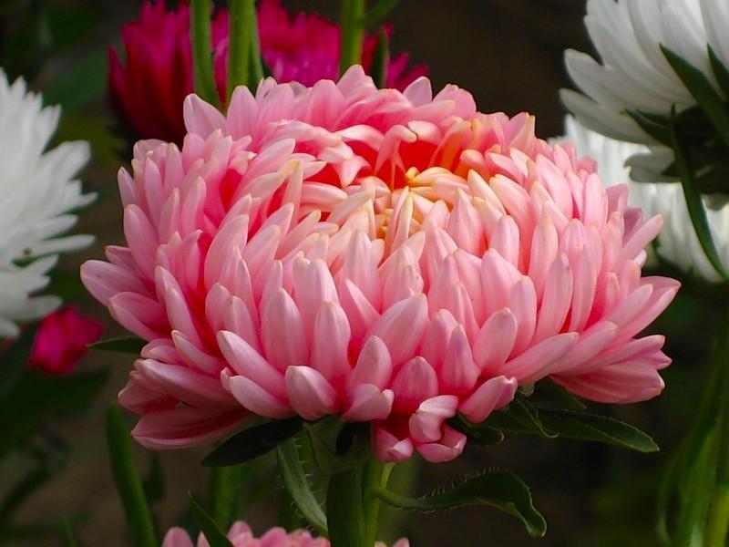 Сем цветов