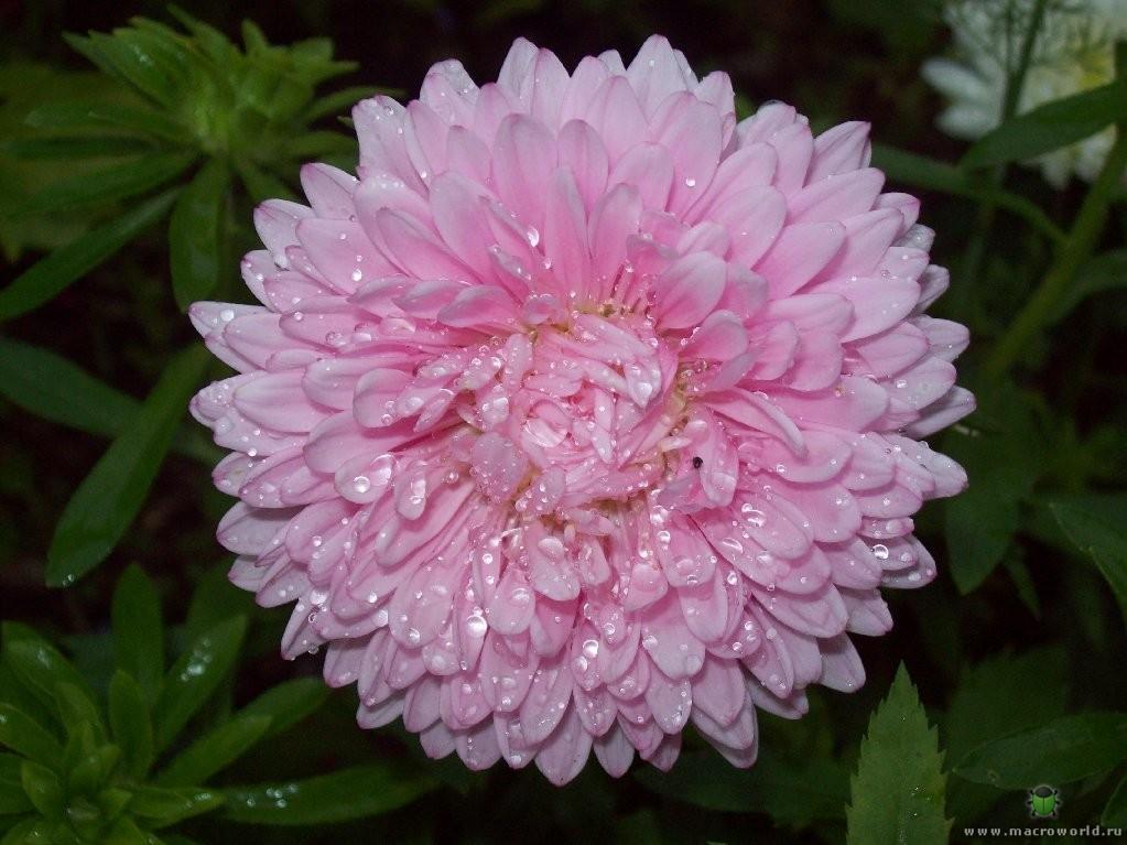 Астры по праву считаются одними из красивейших цветов осеннего сада.  Самое замечательное в них то, что они не...