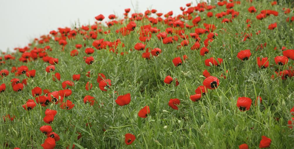 Закарпатка вирощувала  514 рослин снодійного маку