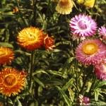Сухоцветы - фото