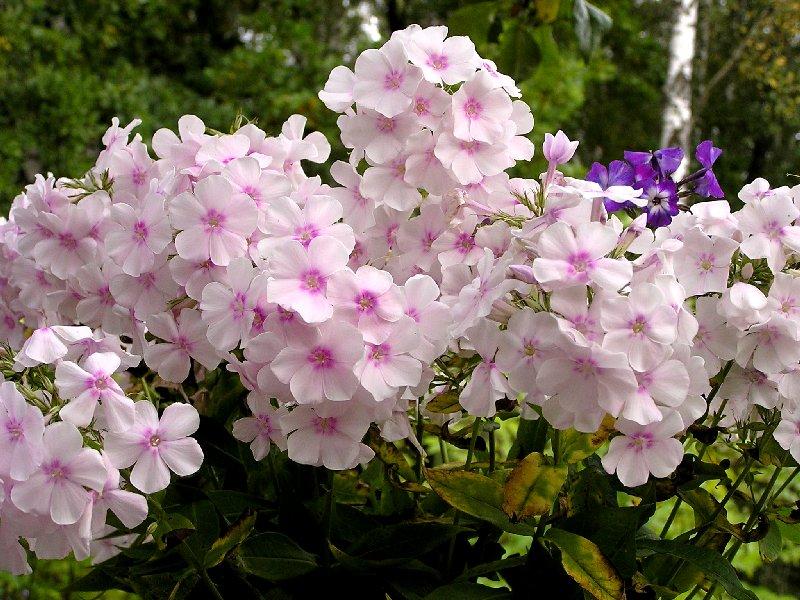 Цветы флоксы и выращивание