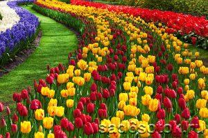 Посадка тюльпанов вдоль пешеходной дорожки