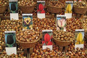 Луковицы тюльпанов различных сортов