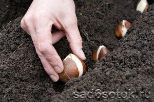 Правила посадки луковиц тюльпанов