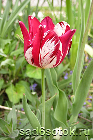Пестролепестность тюльпанов