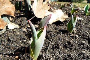 Уход за тюльпанами после схода снега