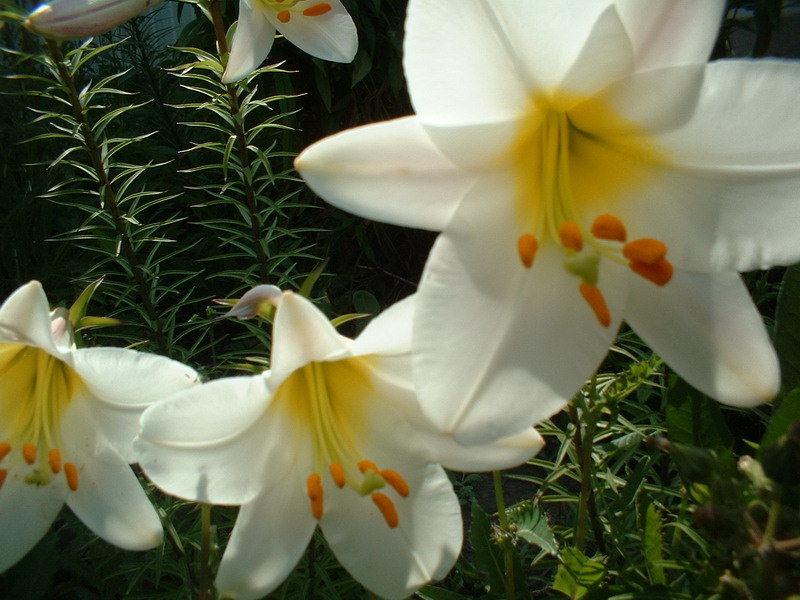 растение лилия