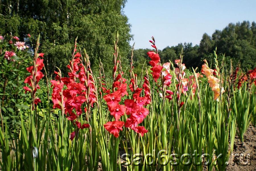 Ускорение цветения гладиолусов