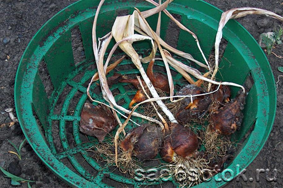 Выкопка тюльпанов в корзинах