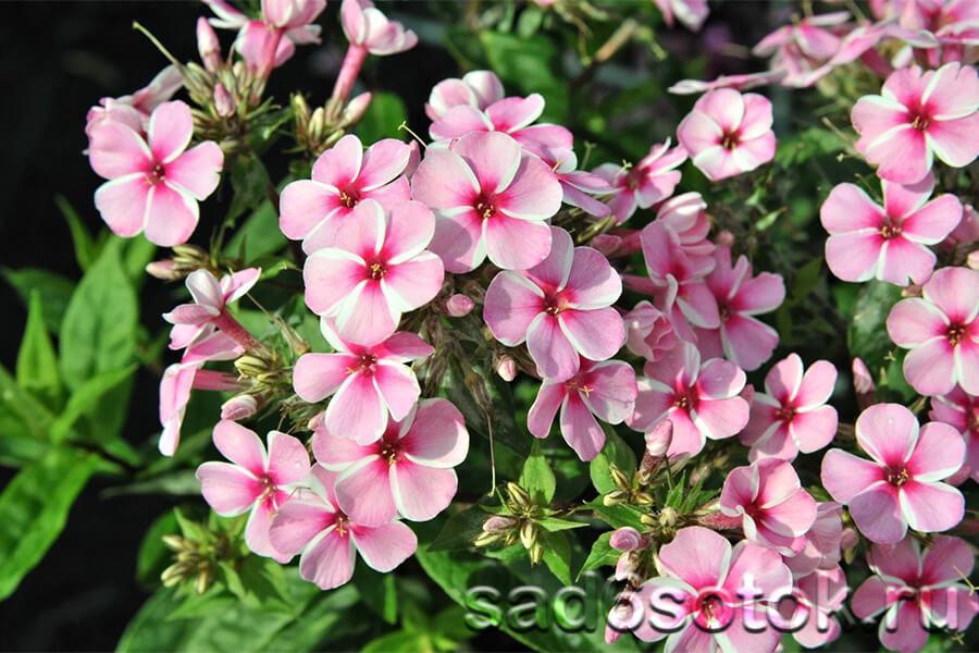 Флокс многолетний сорт Early Light Pink
