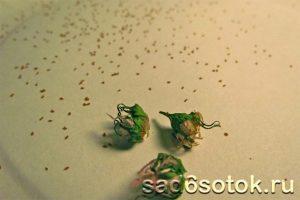 Коробочки и семена лобелии