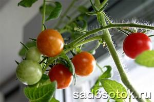 Советы по уходу за томатами в теплице