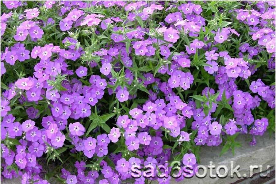 Красивы флоксы фиолетовых оттенков