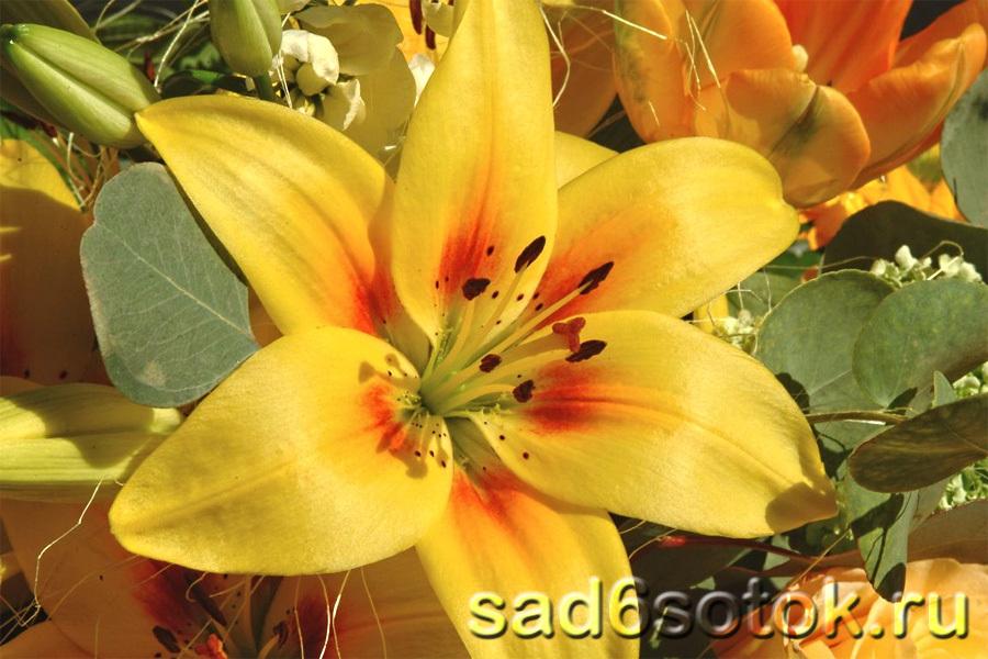 Особенности выращивания лилий