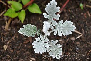 Выращивание цинерарии приморской из семян