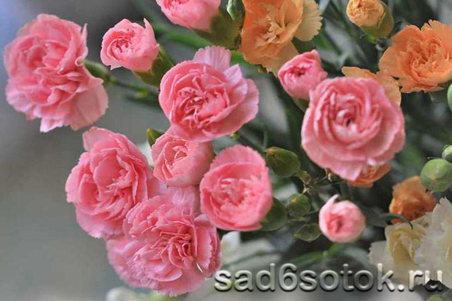 Гвоздика голландская сорт Роза (Rosa)