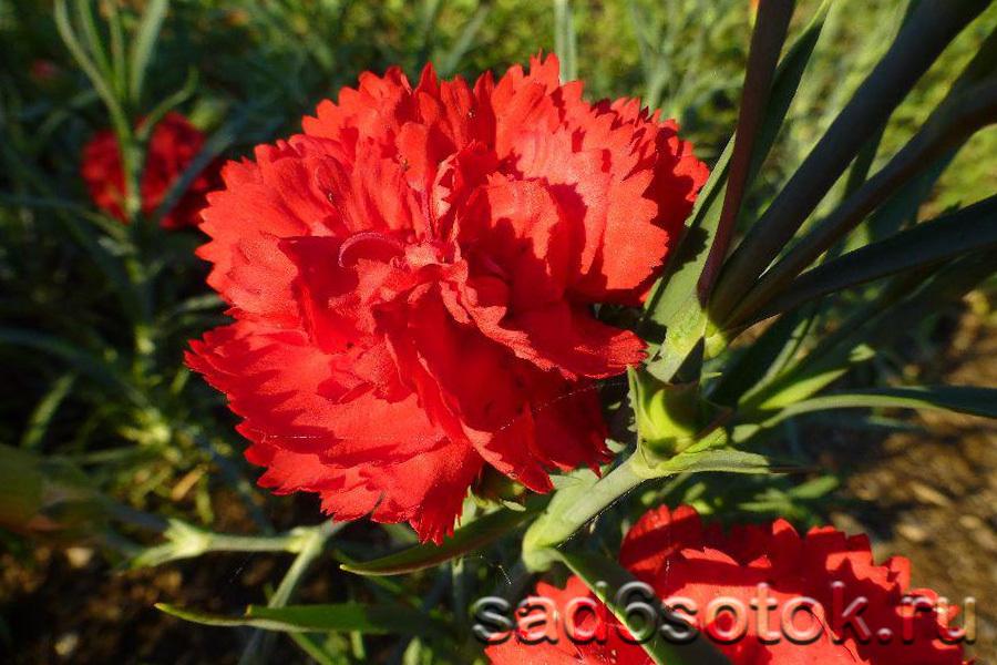 Гвоздика голландская сорт Скарлет (Scarlet)