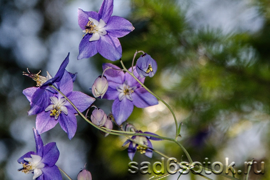 Аквилегия мелкоцветковая