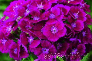 Турецкая гвоздика сорт Диабунда Парпл (Diabunda F1 Purple)