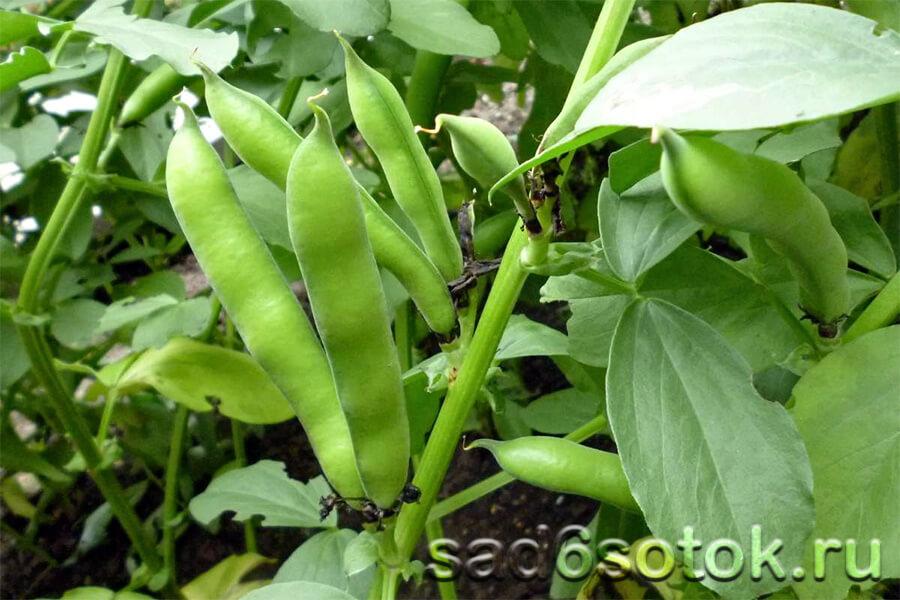 Растения семейства бобовых.