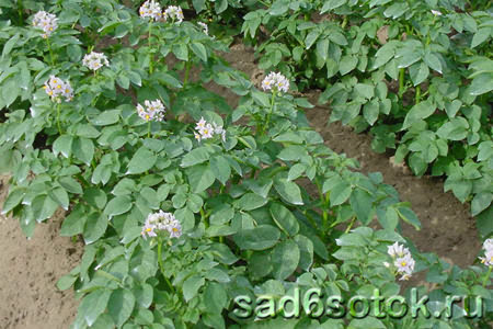 Сорта картофеля для южных районов