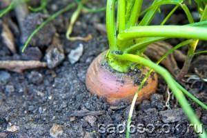 Где лучше выращивать морковь