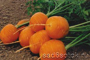 Морковь сорт Полярная клюква