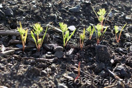 Подготовка семян, посев и уход за морковью