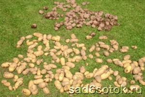 Сбор и хранение урожая картофеля