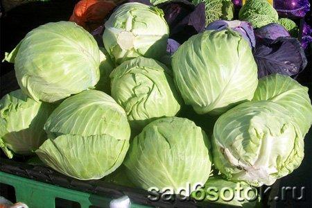 Сбор и хранение урожая белокочанной капусты