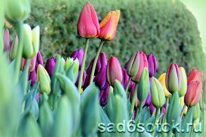 Тюльпаны мельчают из года в год