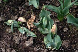 Слепые бутоны у тюльпанов