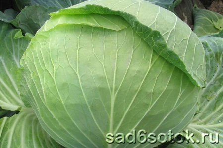 Среднеспелые сорта белокочанной капусты