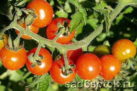 Тепличные сорта томатов (плоды гибрида Айвенго F1)