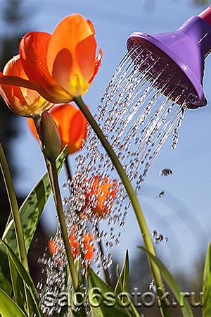 Подкормка тюльпанов в период цветения