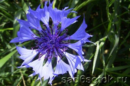 Полезные сорняки - василек синий