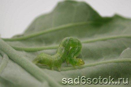 Вредители белокочанной капусты