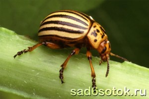 Вредители картофеля (колорадский жук)