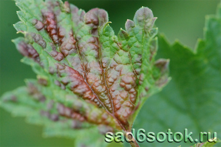 Вредители и болезни смородины