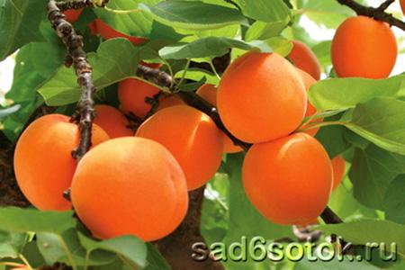 Выращивание абрикосов в теплице
