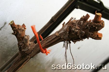Формирование плодовых деревьев в виде веера