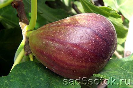 Выращивание инжира в теплице