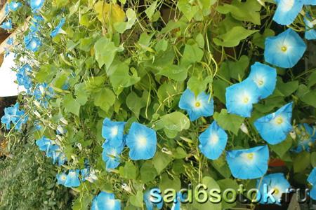 Цветки ипомеи