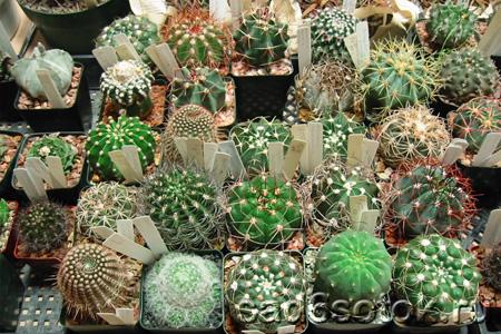 Коллекции кактусов