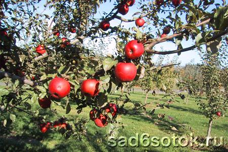 Детальная, или нормирующая обрезка яблони