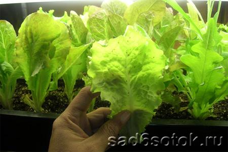Выращивание листового салата в теплице