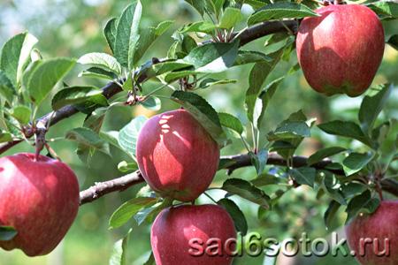 Яблоня – общие сведения