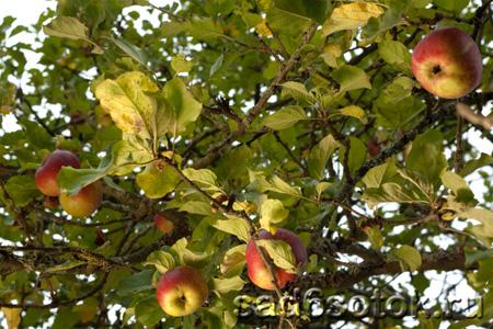 Летние потери: почему засыхают яблони и груши