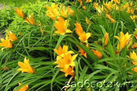 Цветение лилейника Миддендорфа
